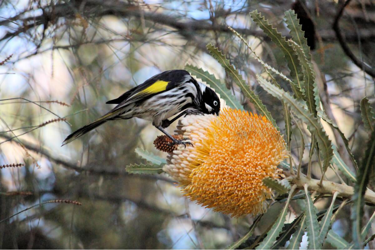 Un pájaro nectívoro de gran tamaño.