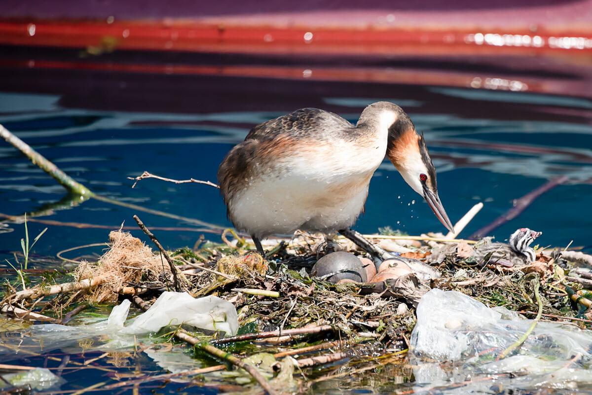 Una ave haciendo un nido con basura.