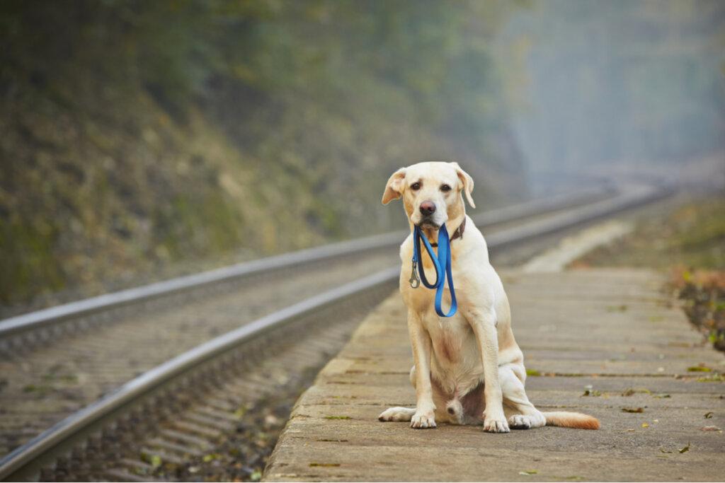 Un perro perdido camina 80 kilómetros hasta su hogar