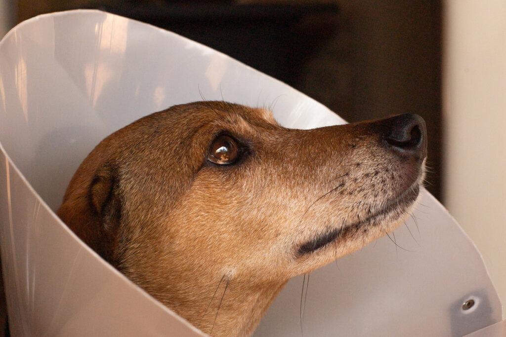 Collar isabelino: ¿cómo ayudar a tu mascota a adaptarse a él?