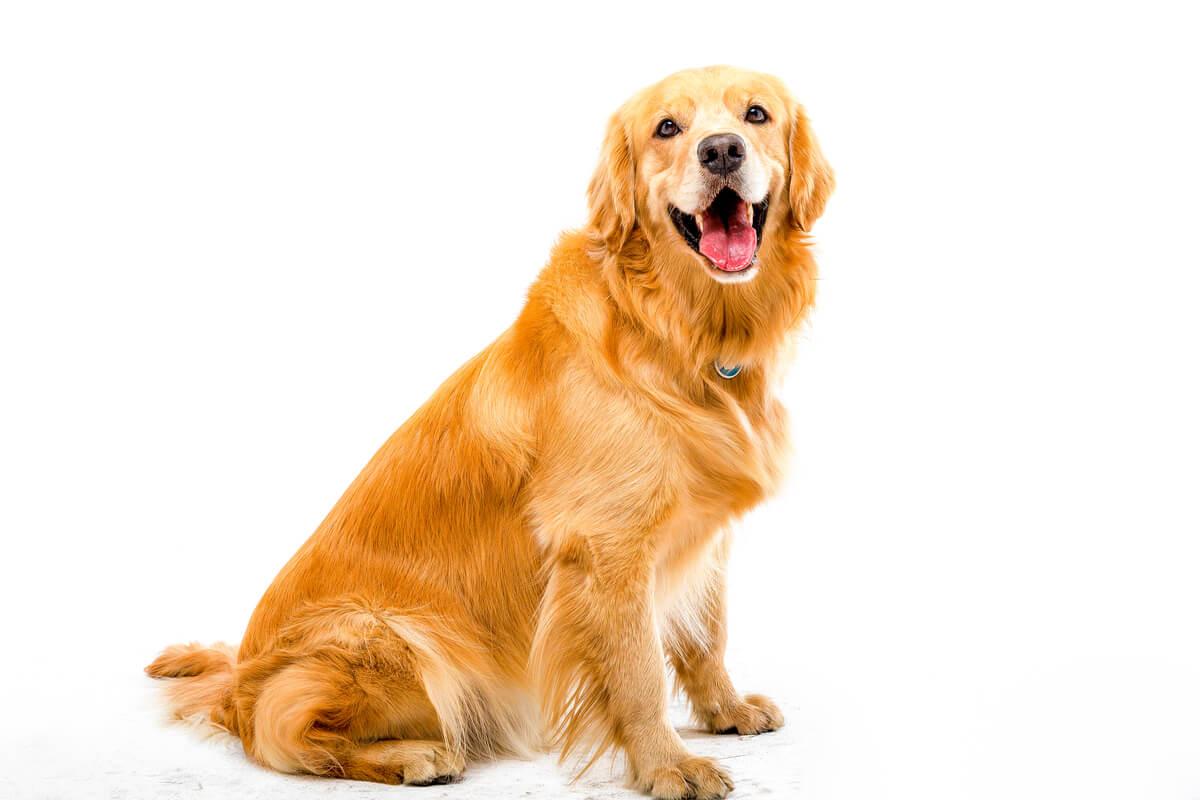 Un labrador golden retriever.