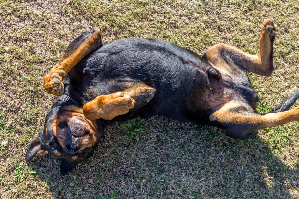 ¿Cuándo se debe hacer una orquiectomía en perros?