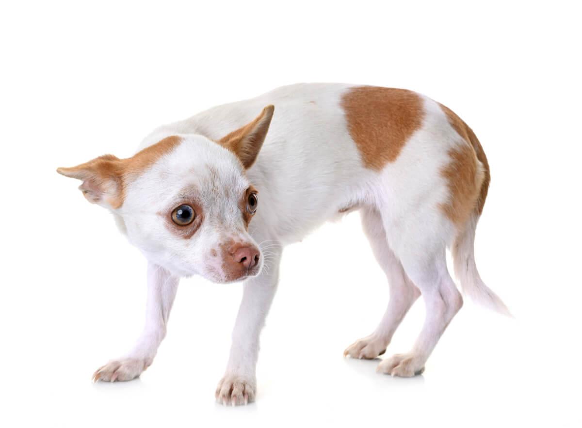 trastornos del espectro autista en perros.