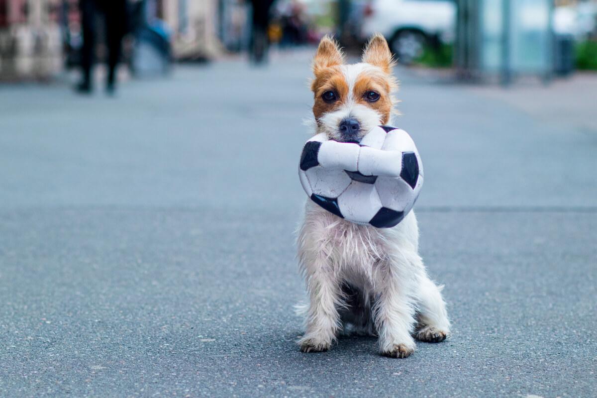 Un perro con una pelota de fútbol.