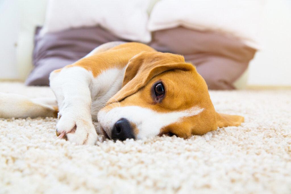 ¿Cómo cuidar a un perro con neumonía?