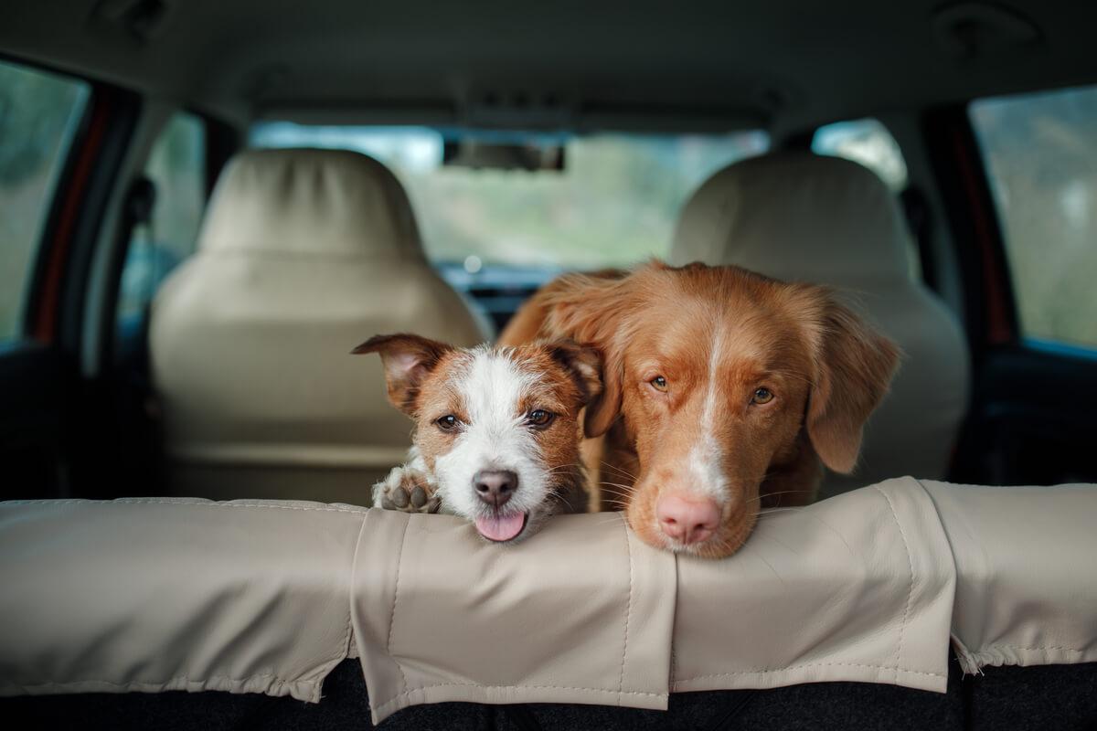 Golpe de calor y coche en perros.