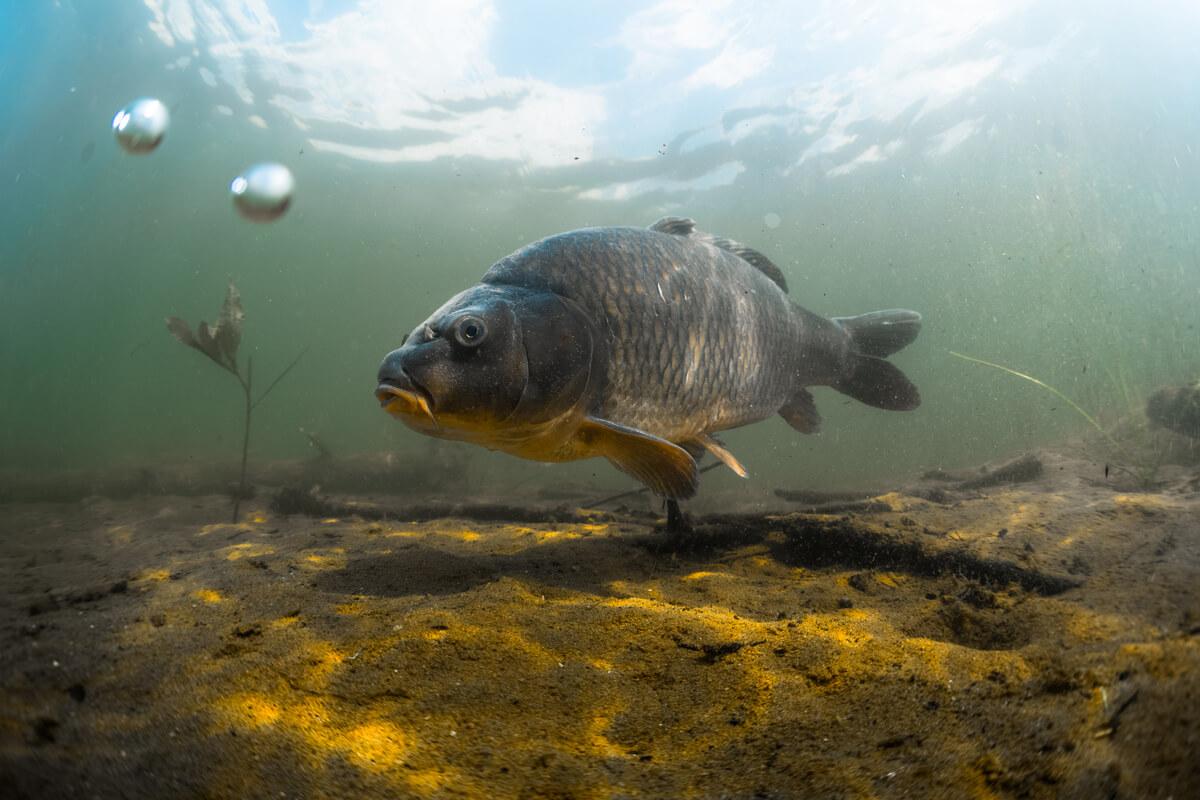 El sistema respiratorio de los peces está adaptado a una vida bajo el agua.