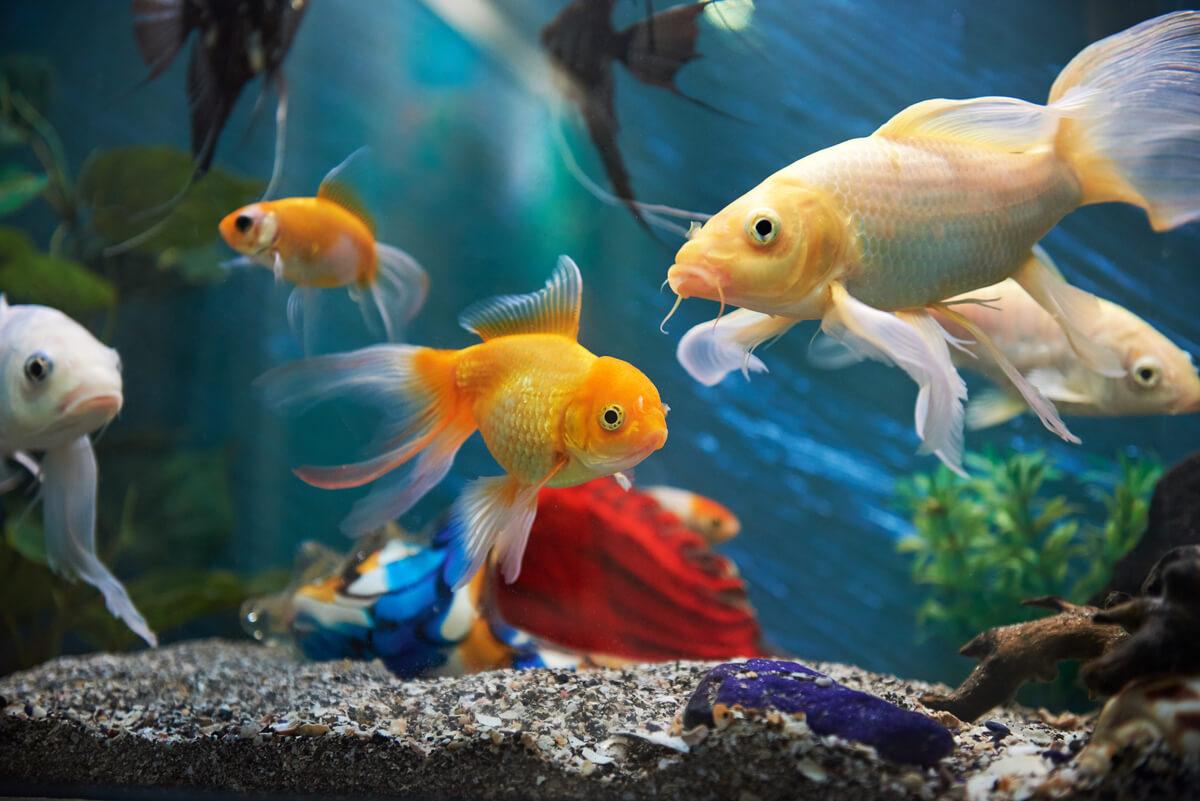 Un pez dorado en un acuario.