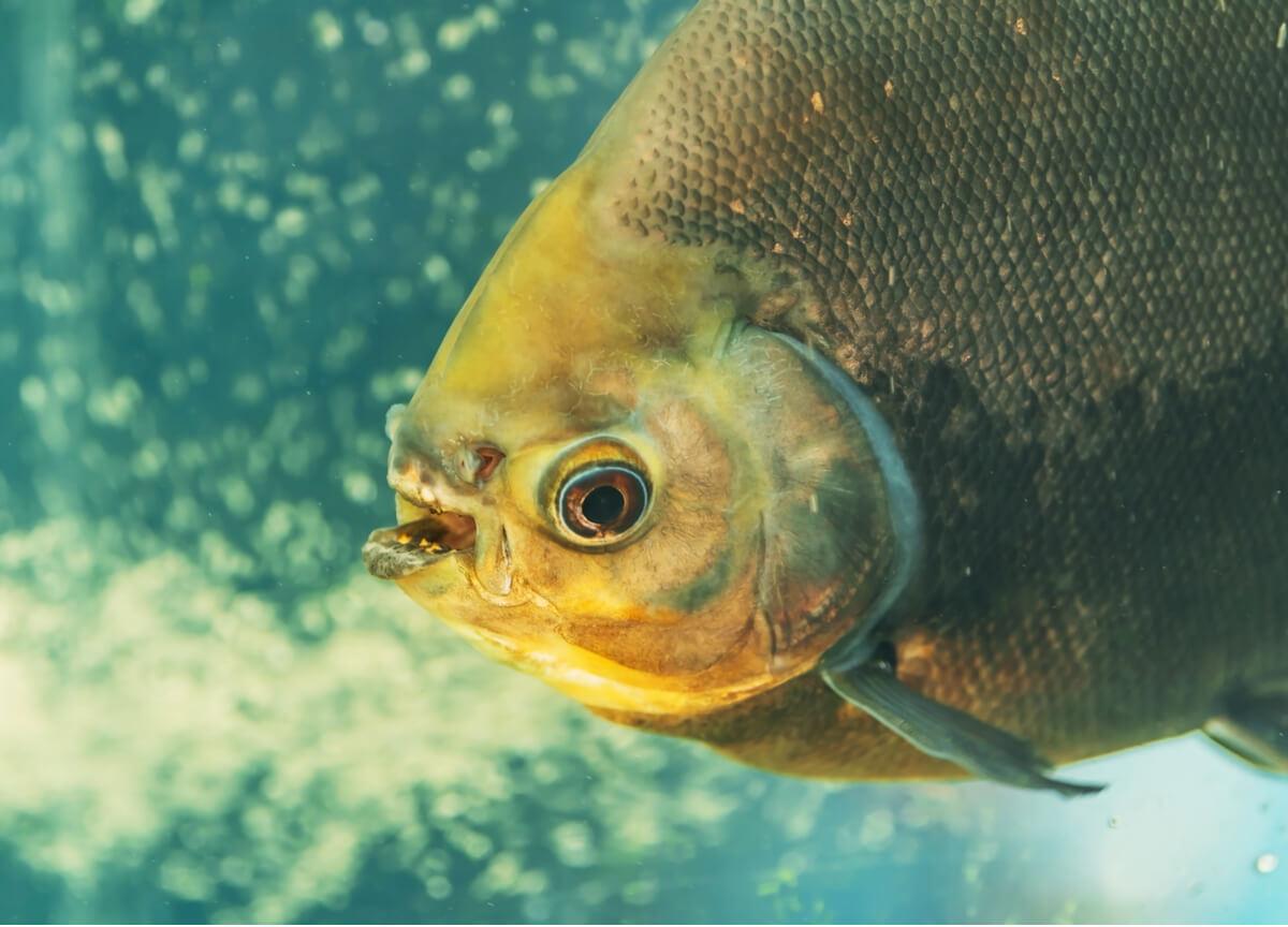 Un pesce pacu che mostra i suoi denti.