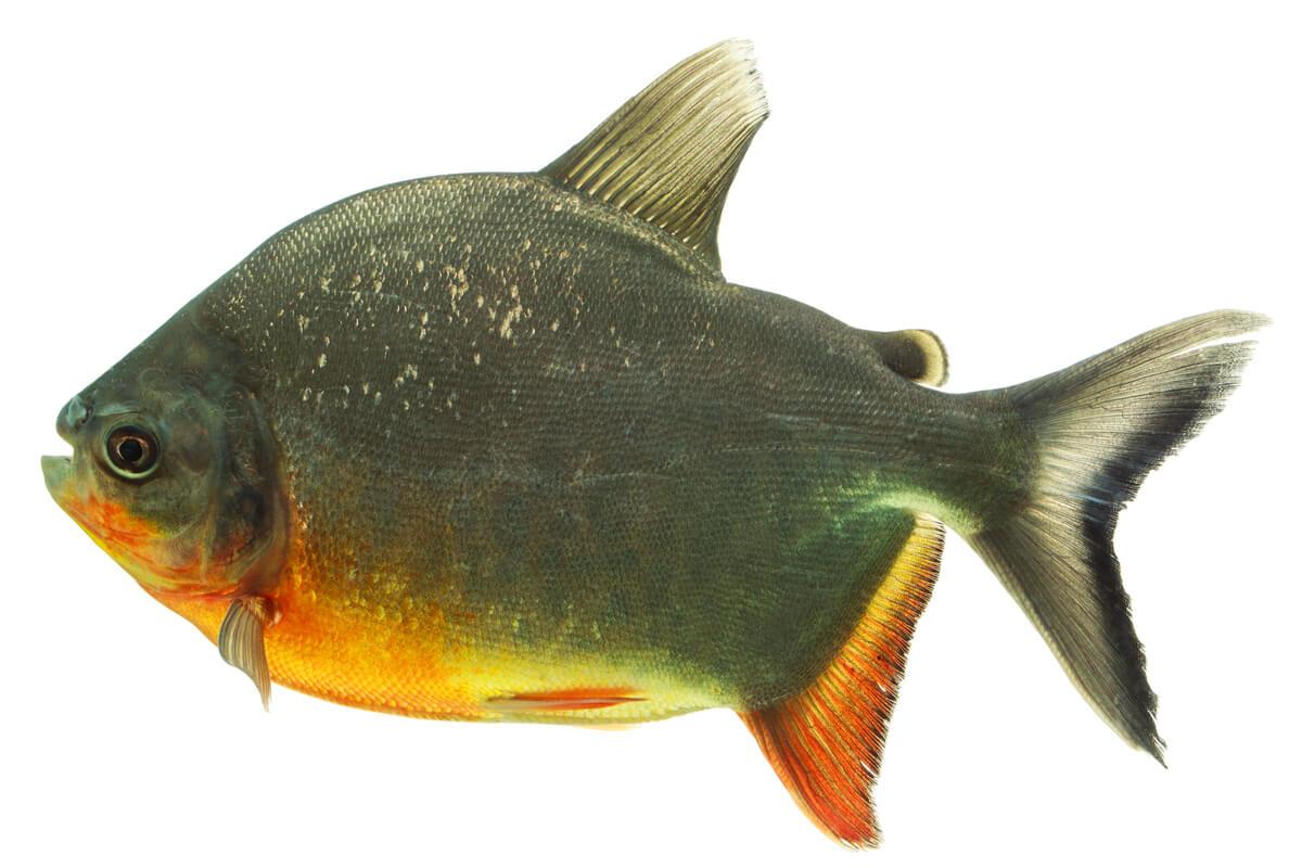 Un pez pacu de fondo blanco.