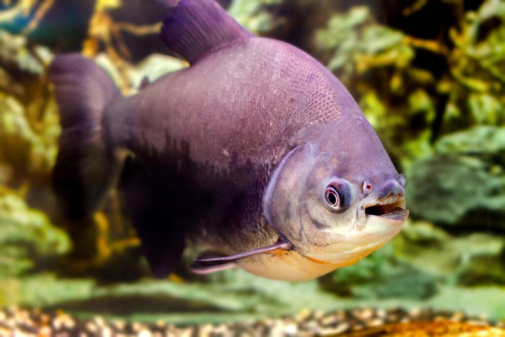 Peces pacu: sorprendentes pirañas vegetarianas