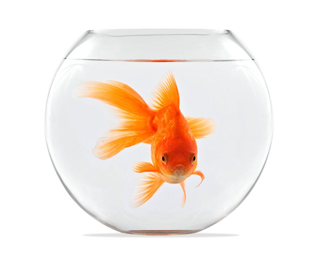 ¿Es cierto que un pez crece según el tamaño de la pecera?