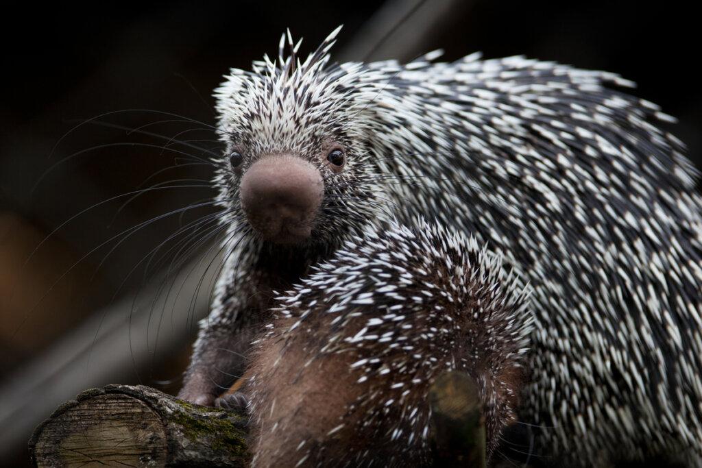 Puercoespín arborícola: precioso y amenazado