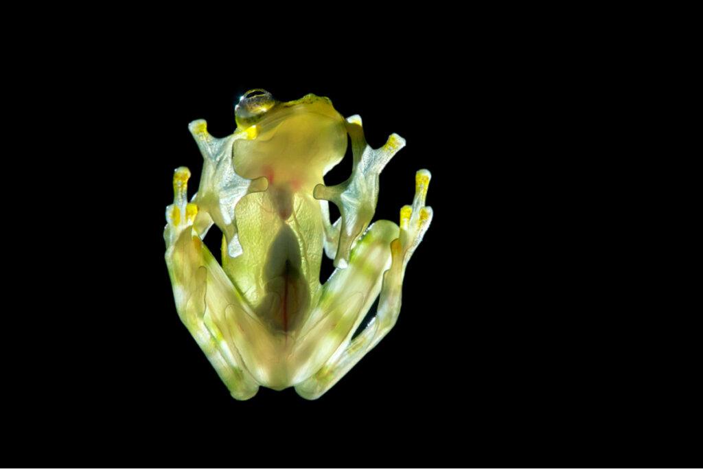 La increíble morfología de las ranas de cristal