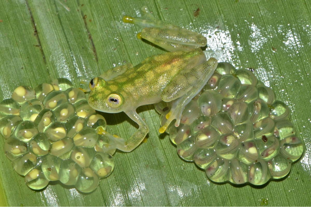 Una rana de cristal con sus huevos. y su camuflaje.