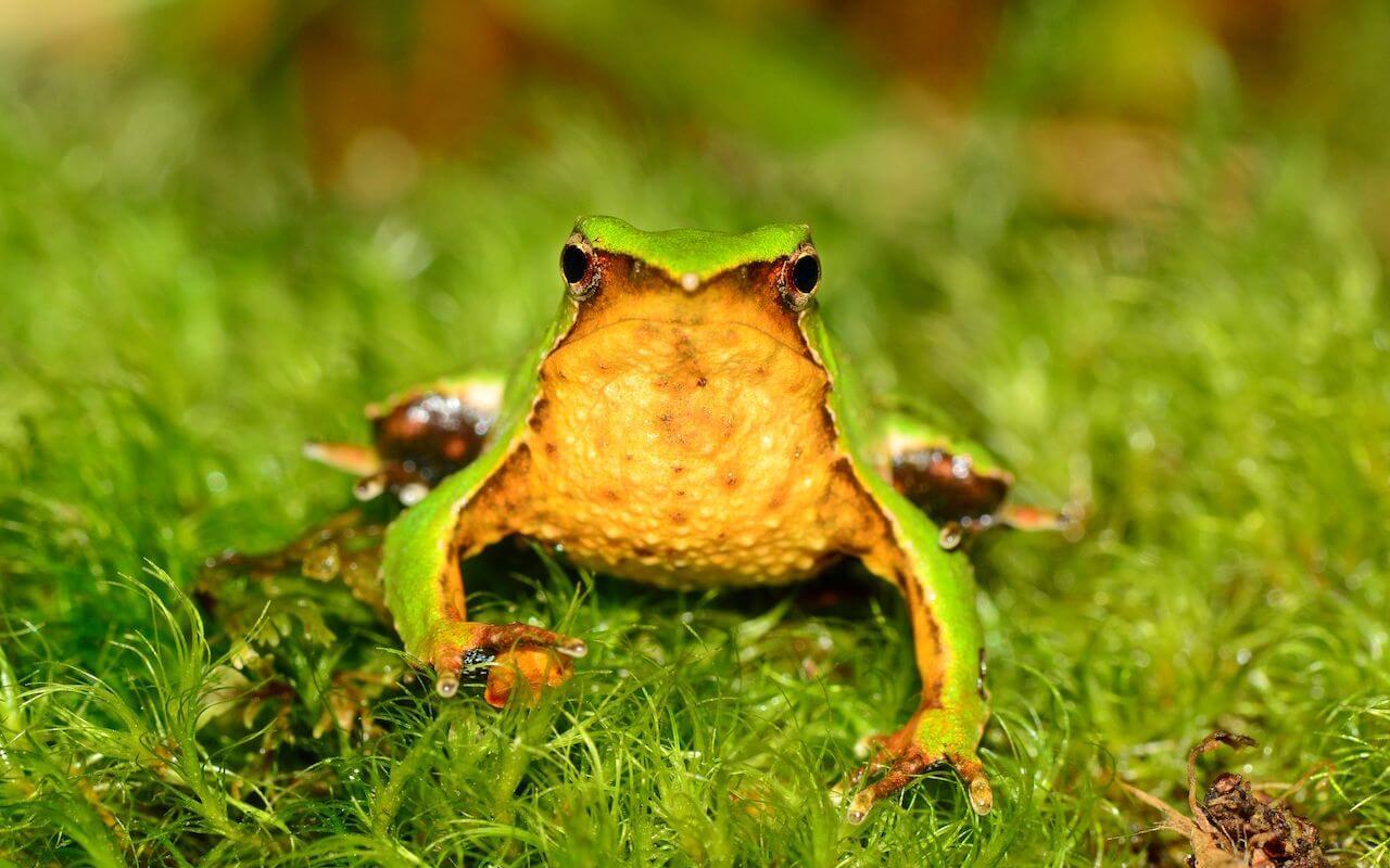 Cara de una rana de Darwin