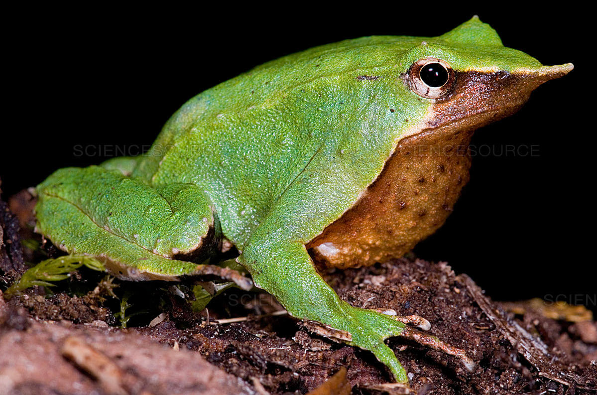 Una rana de Darwin.