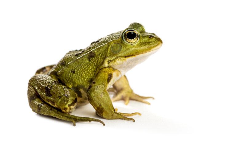 ¿En qué se distinguen una rana de un tritón?
