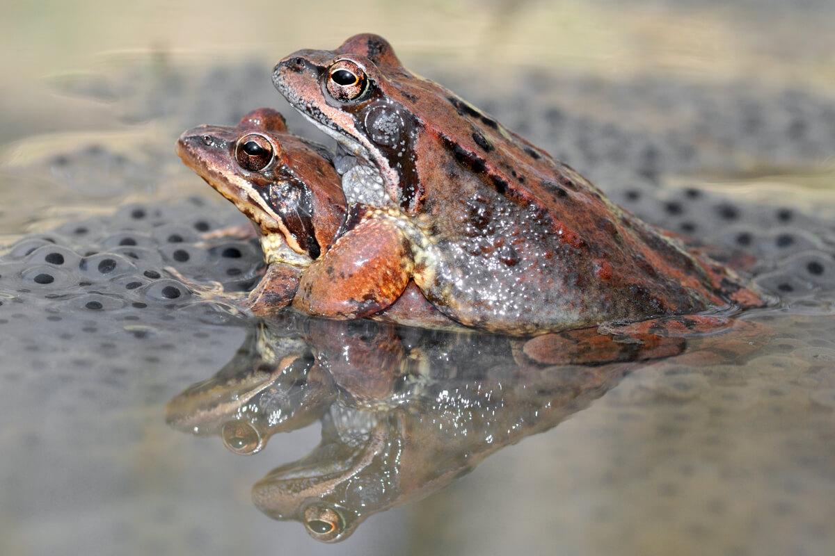 Deux grenouilles se reproduisent.