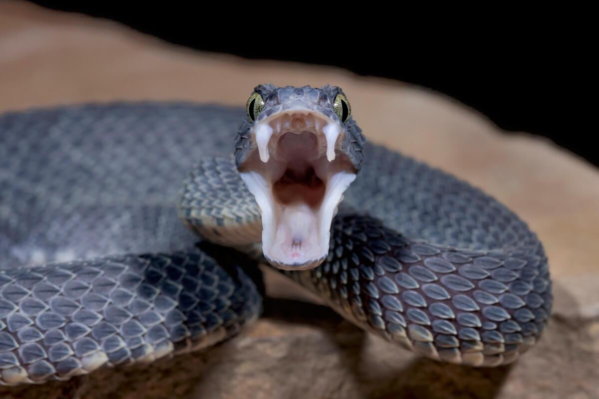 Una serpiente venenosa.