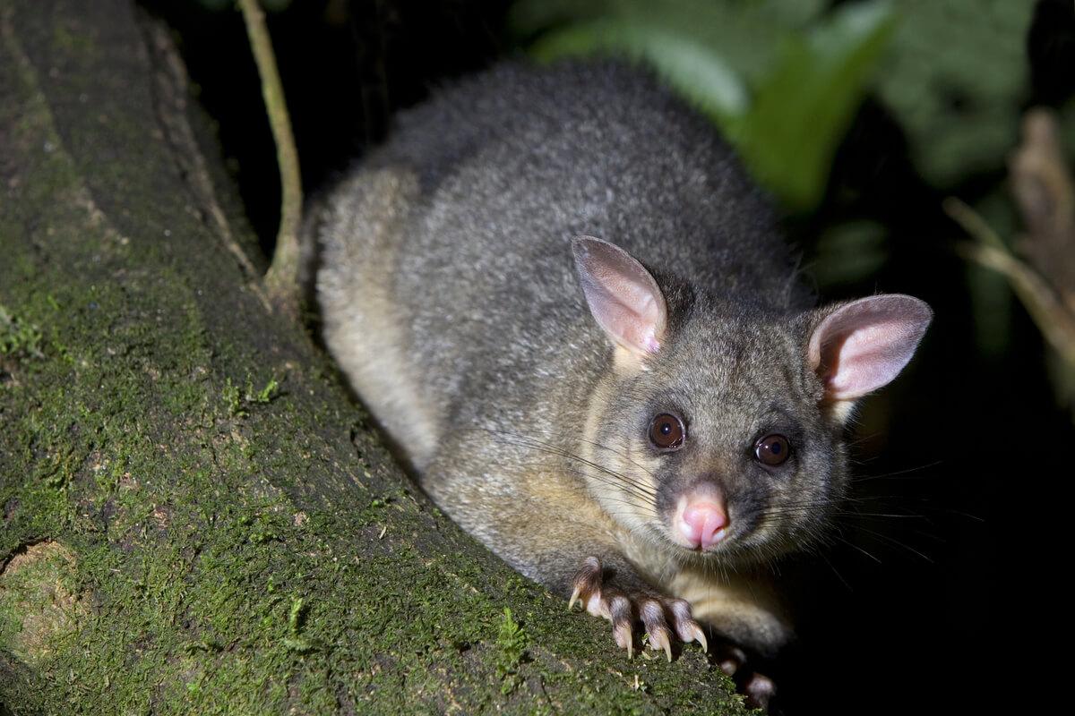 10 tipos de marsupiales