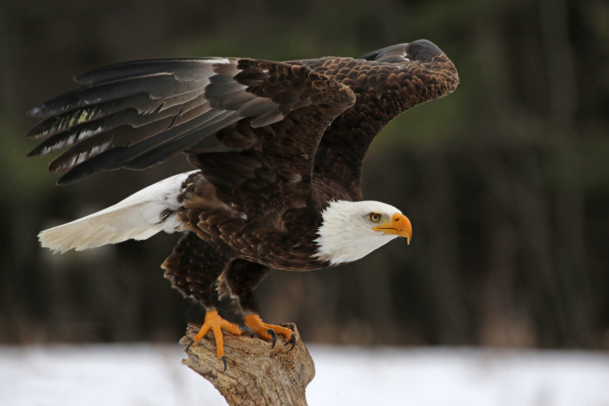 Un águila calva, otra rapaz diurna.