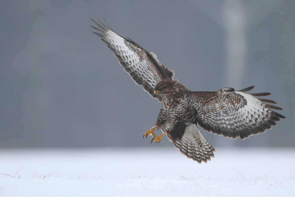 Un águila ratonera, otra de las rapaces diurnas.
