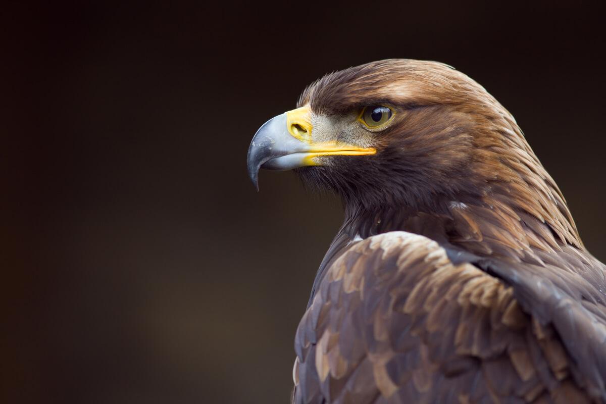 Un águila real.