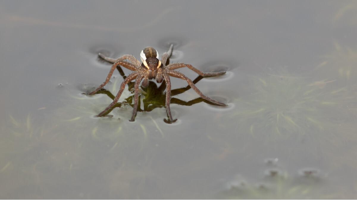 Una araña pescadora de peces.