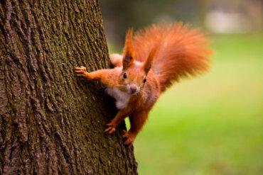 La importancia de la ardilla roja en los ecosistemas