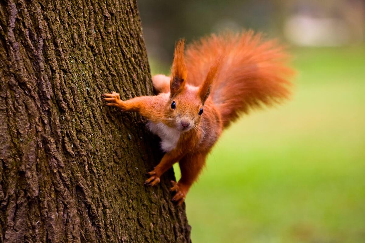 Una ardilla roja apoyada sobre un árbol.
