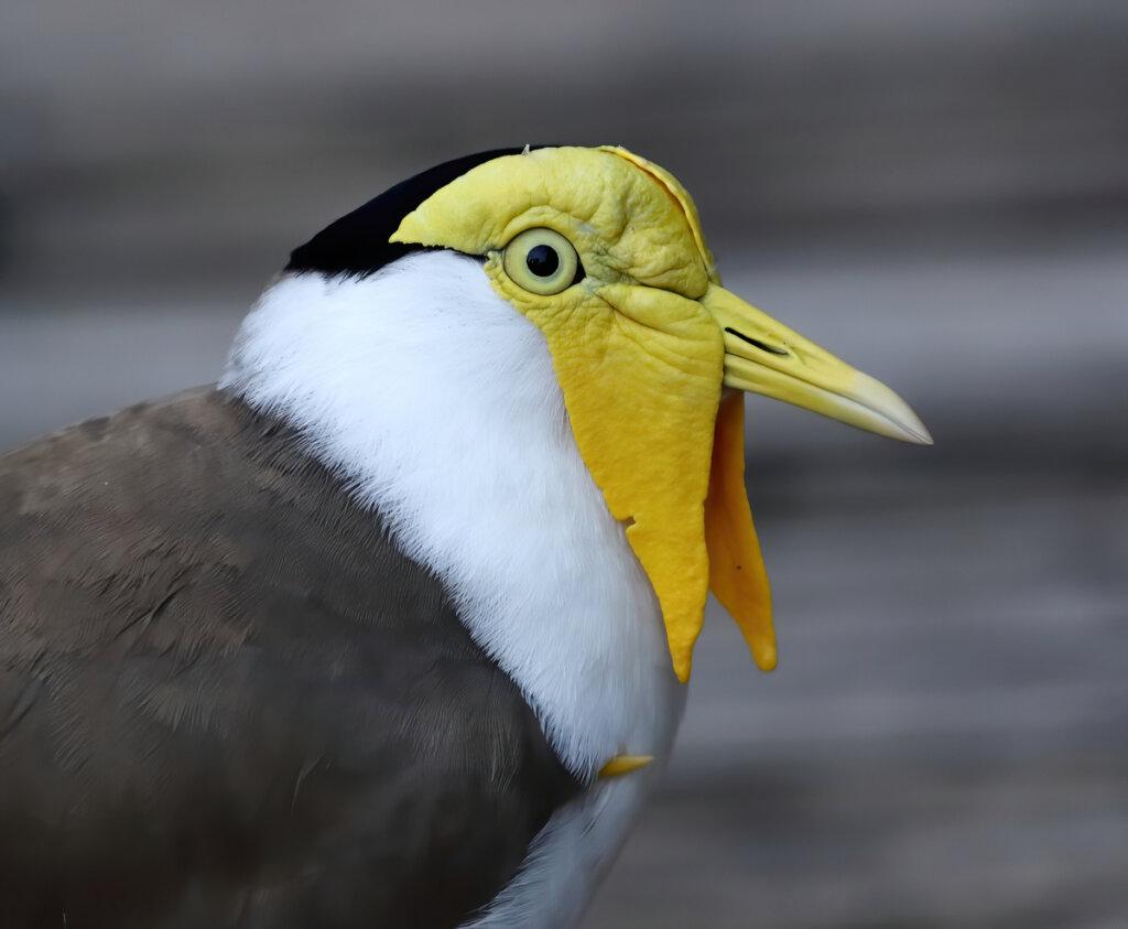 El avefría militar: un pájaro enmascarado
