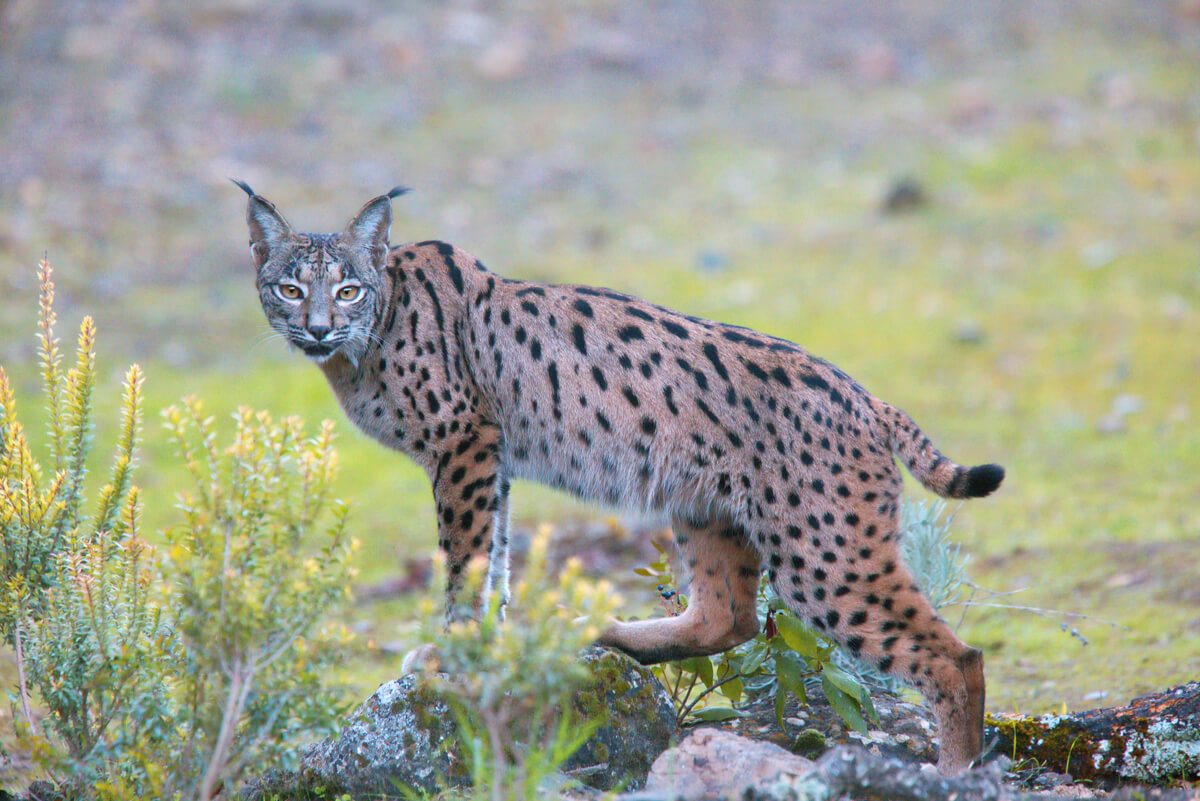 An Iberian lynx, one of the 6 most emblematic animals in Spain.