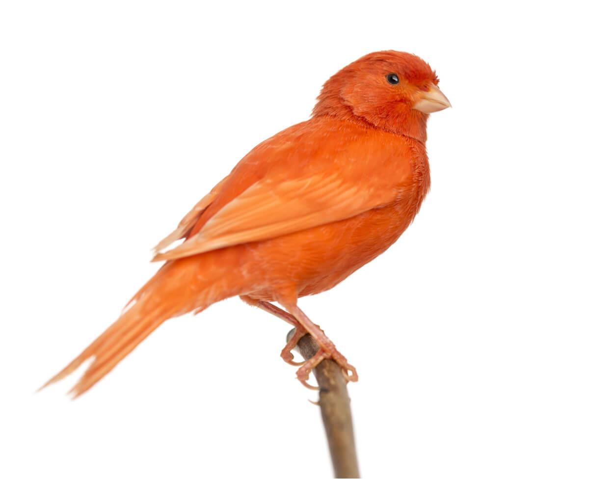 Los quistes de plumas son más comunes en canarios.