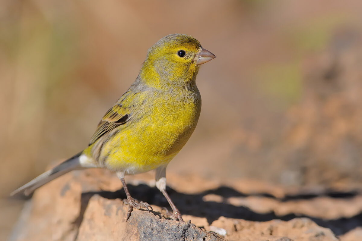 ¿Cuál es el hábitat del canario silvestre?