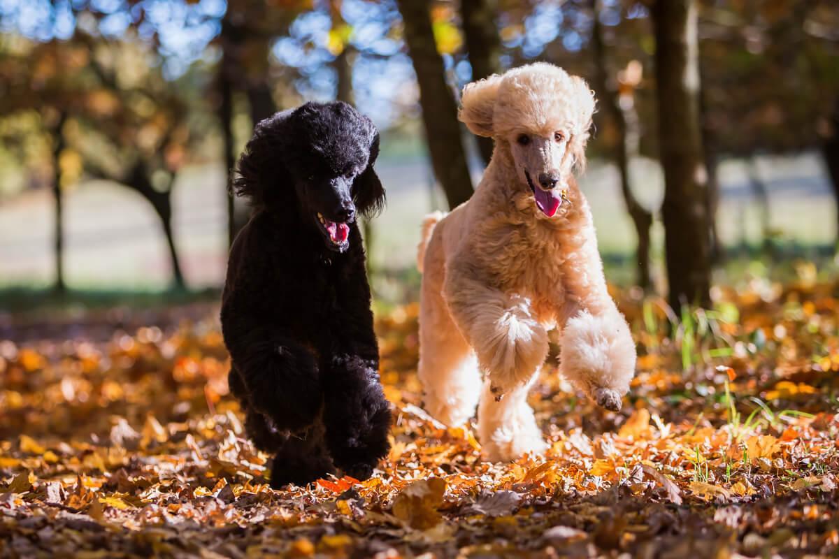 Dos caniches gigantes corriendo.