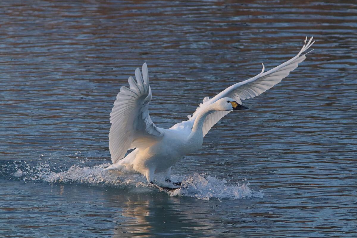 Un cisne colombiano alzando el vuelo.