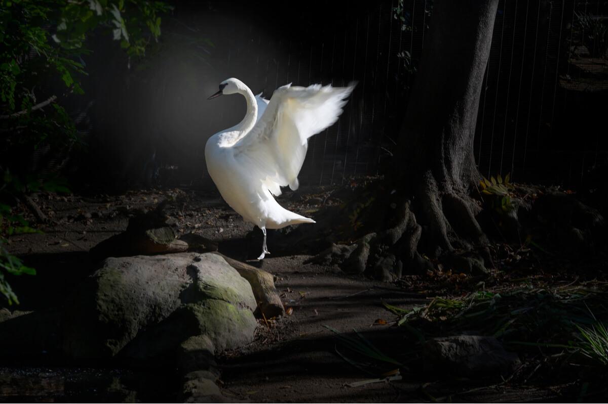 Un cisne trompetero alzando el vuelo.