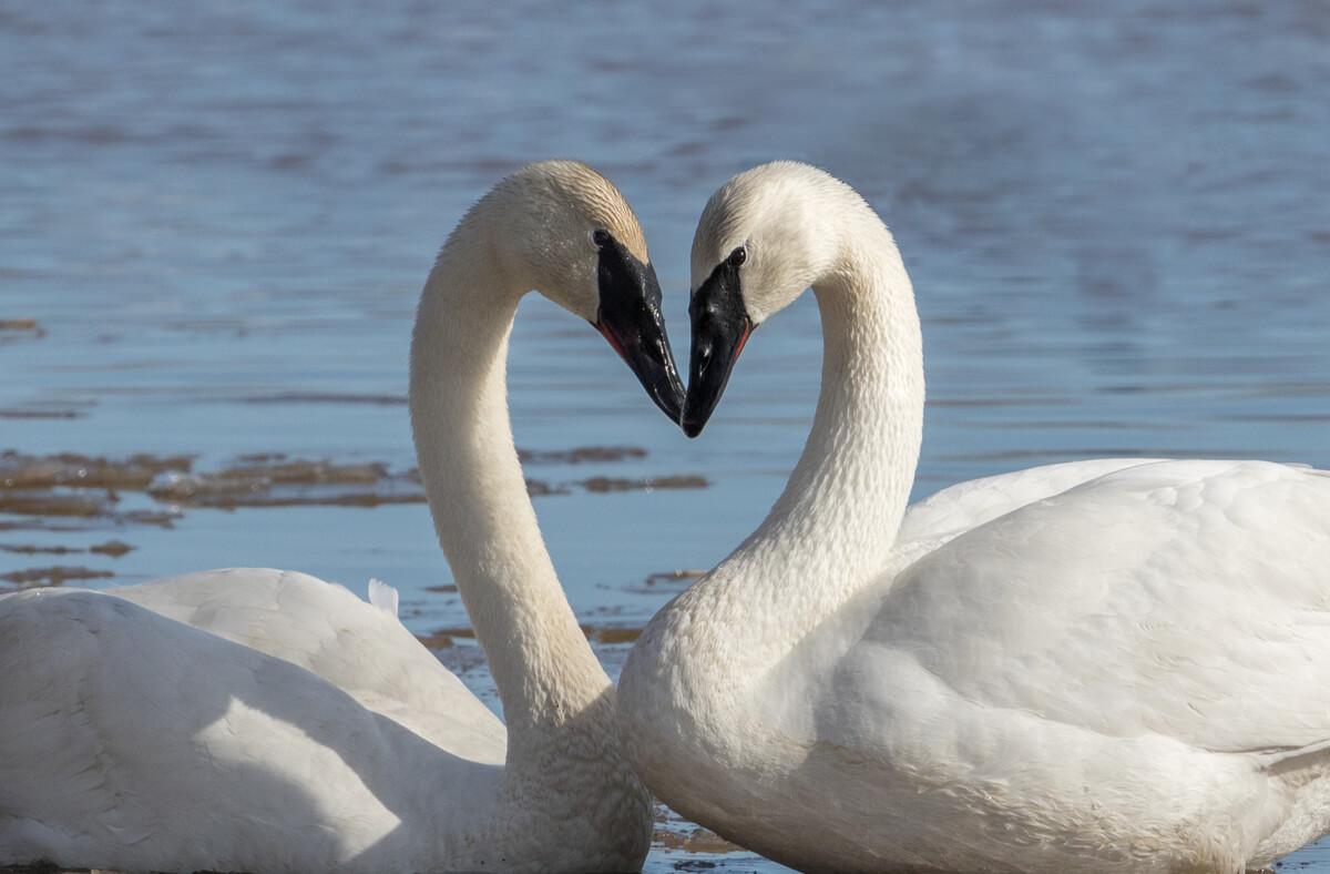 Un cisne trompetero en cortejo.