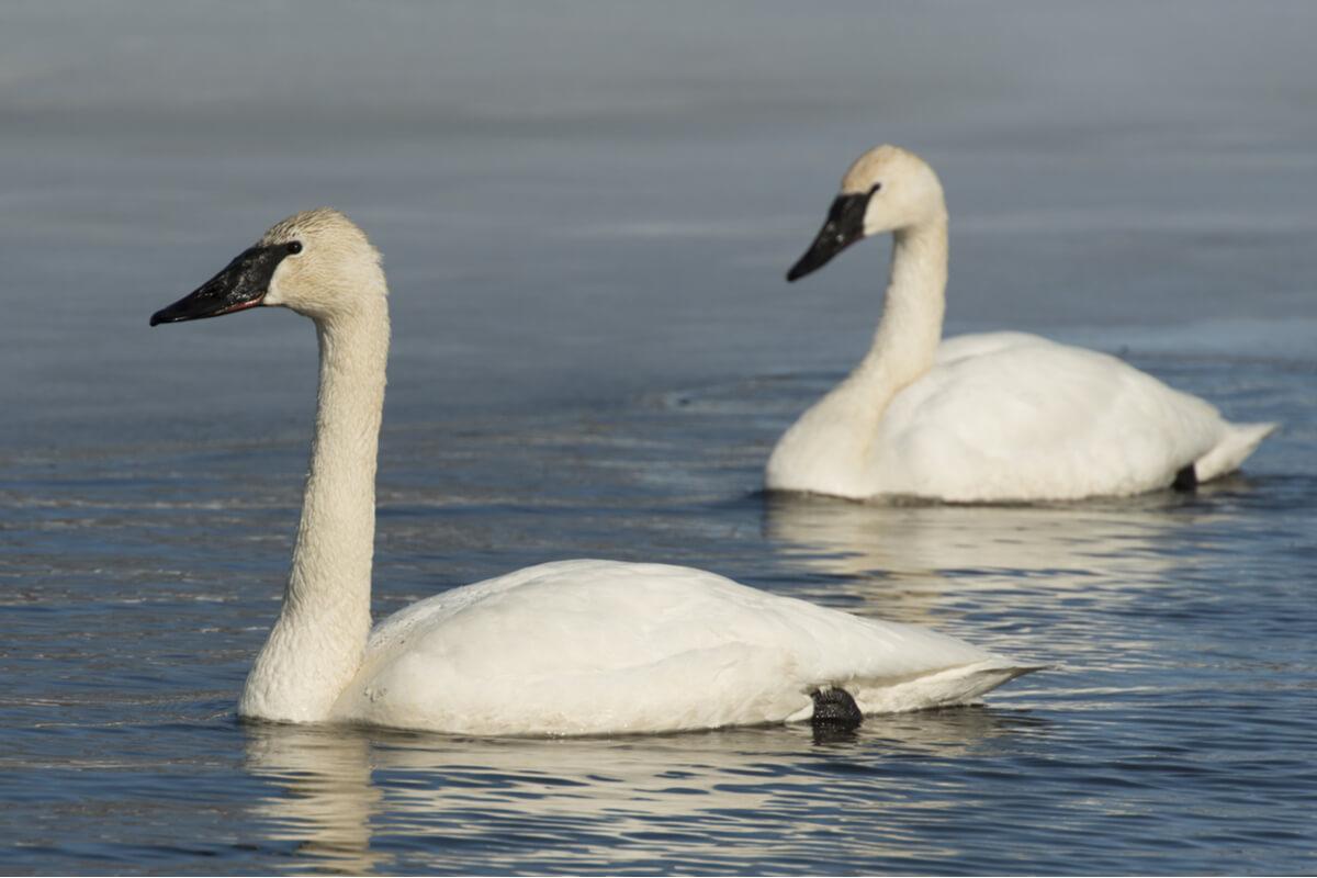 ¿Cuáles son las características del cisne trompetero?