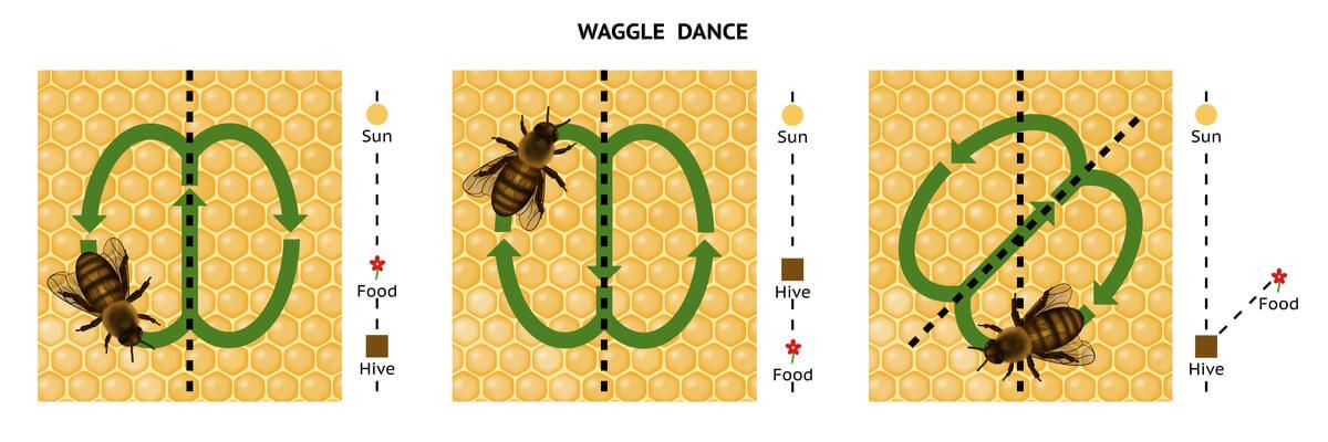 Un ejemplo de la danza de las abejas.