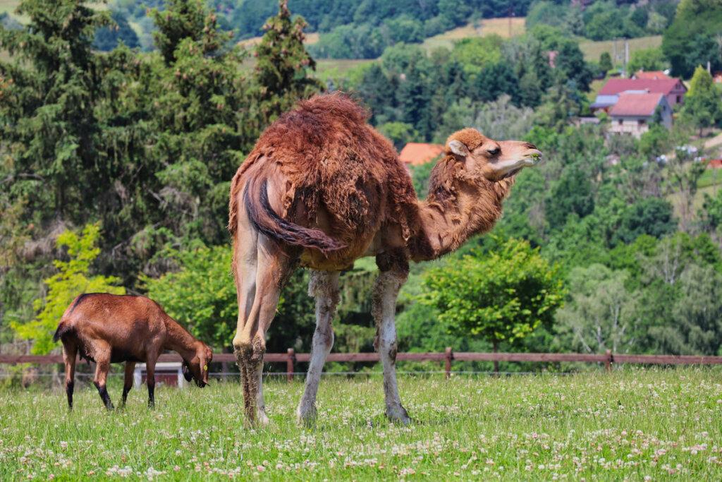 Las enfermedades parasitarias en los camélidos
