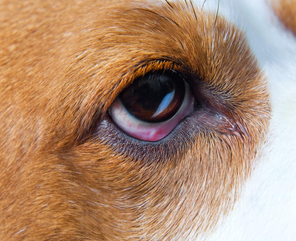 ¿Qué es el ectropión en perros?