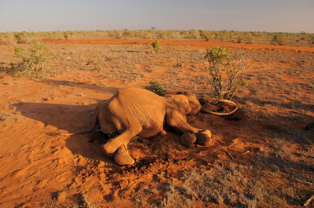 Resuelto el misterio de los elefantes muertos en Botswana