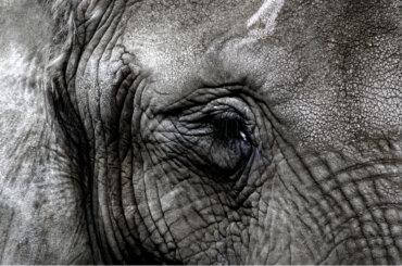 Aceite de extracto de cannabis para curar la depresión en elefantes