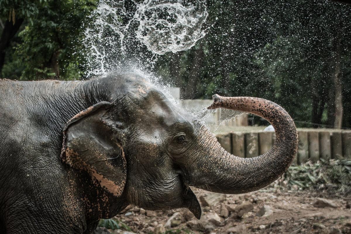 Un elefante usa la sua proboscide per fare la doccia.
