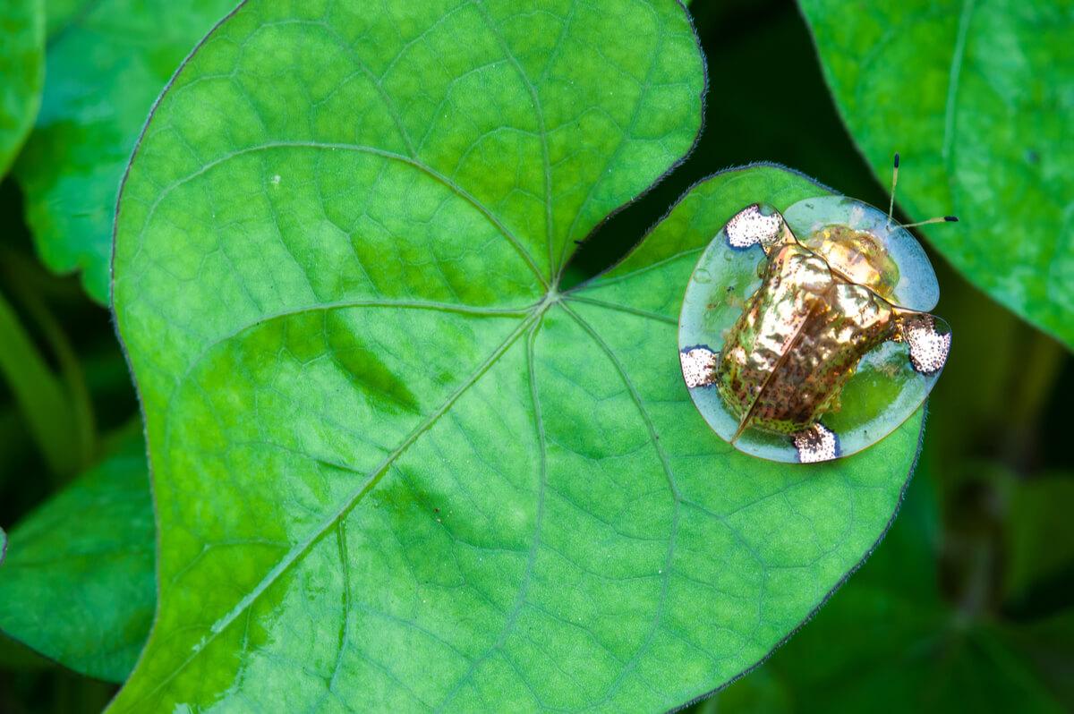 El escarabajo tortuga de oro