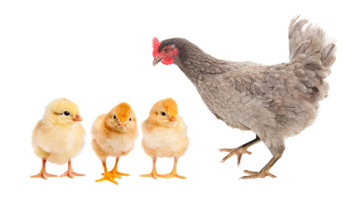 Una gallina con sus pollitos.