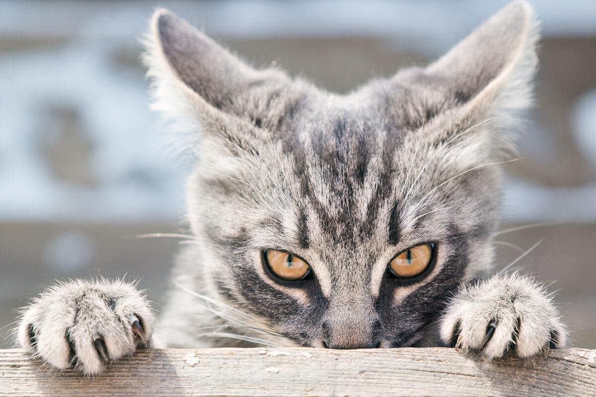 Un gato que se muestra amenazante.