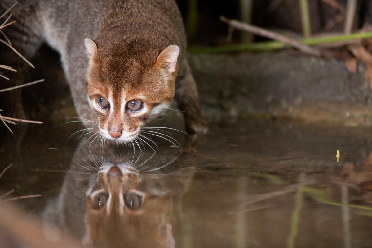 Un gato de cabeza plana que está bebiendo agua.